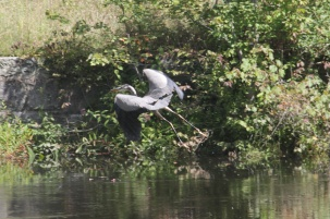 72-Heron in Flight 1 HP