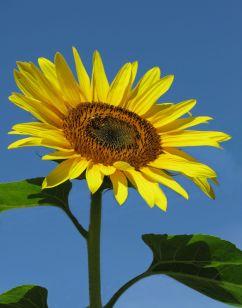 75-Sunflower-E-11X14