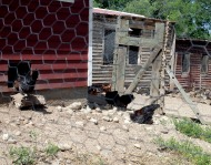 Chickens and coops - Marilyn Armstrong