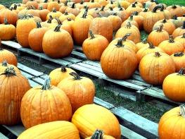 Acres of pumpkins ...