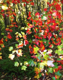 Scarlet maple leaves against the still green of other trees.