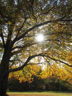 A huge old tree with bright yellow leaves lures the sun to its branches ...