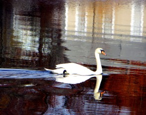 Swan and reflections from the shore - by Marilyn Armstrong