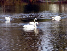 Swans_20 - Marilyn Armstrong