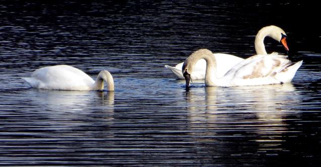 Where do the swans go? Photo: Marilyn Armstrong