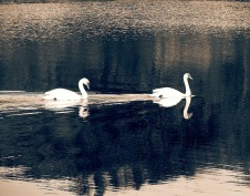 Swans in Sepia - Marilyn Armstrong