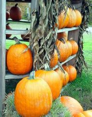 A wall of pumpkins ...