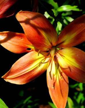 Chinese lily