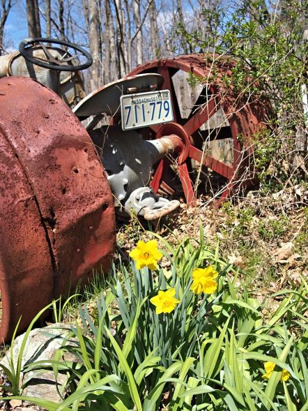 Daffodils and tractor
