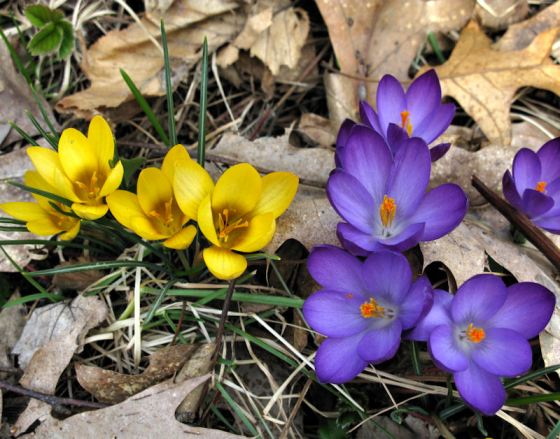 Blue and gold crocuses