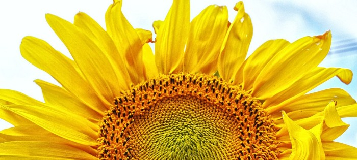 cropped-75-sunflowernk-2.jpg