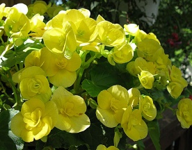 72-YellowBegoniasHP-1