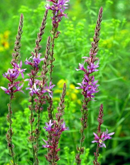 Purple wildflowers ... everywhere in high summer