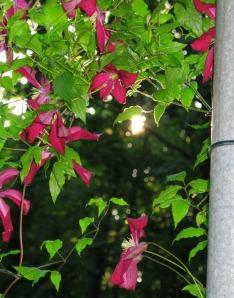Sun Through the Clematis