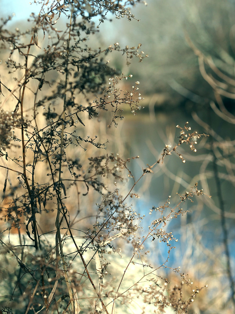 Dry weeds by the river