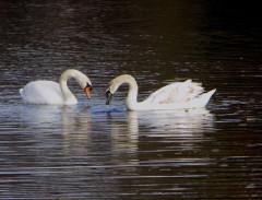 Oct 2012 - Swans
