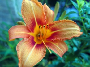 Lilies in the garden - Late May