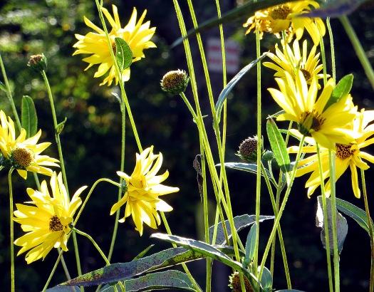 September: Brightest wild daisies.