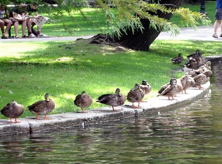 Ducks on Boston Commons
