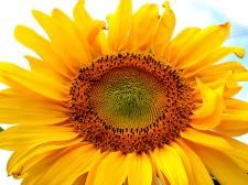 96-UniqueSunflower-2