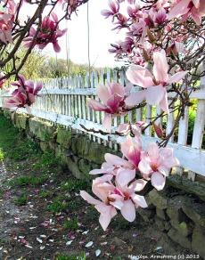 75-MagnoliasAlongTheFenceHPCR-1