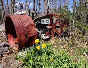 daffodillies