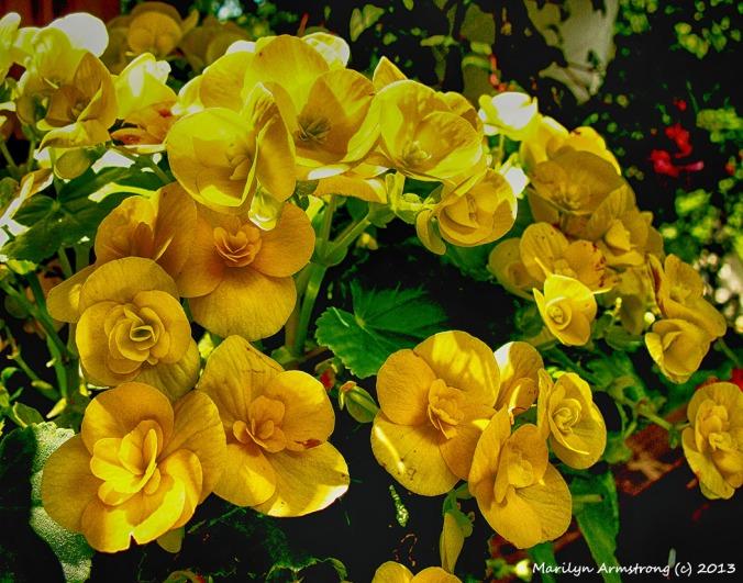 75-BegoniaHDRCR-1