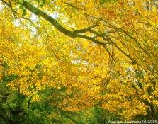 Yellow Bough