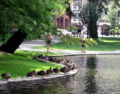 Ducks waiting along the pond on Boston Common