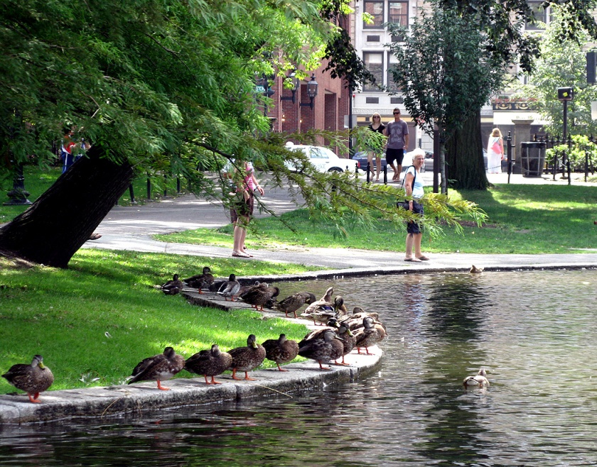 Ducks waiting along the pond on Boston Common