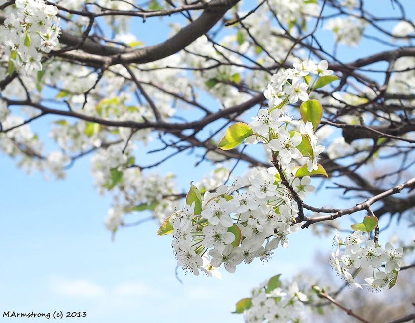 Apple Blossoms-1