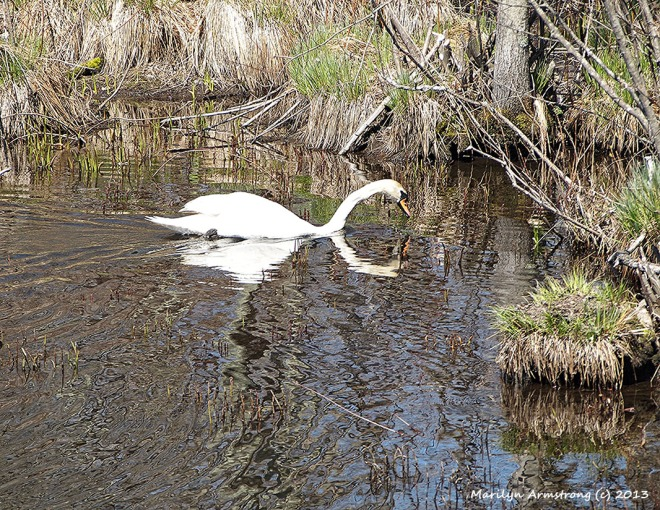 Mr. Mute-Swan enters the narrow and shallow channels leading to the swampy area where the new nest has been built.