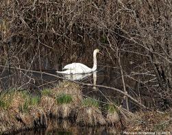 My swans