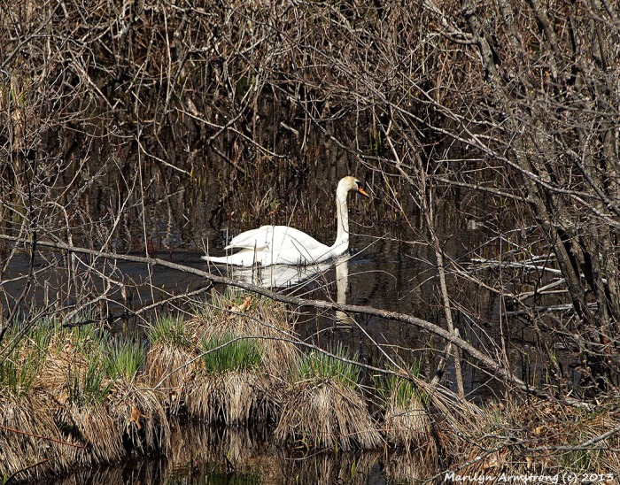 Swan-continued