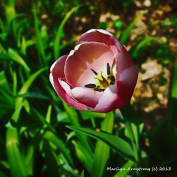 75-PinkTulipNK_002_01