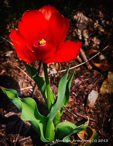Love - Tulip