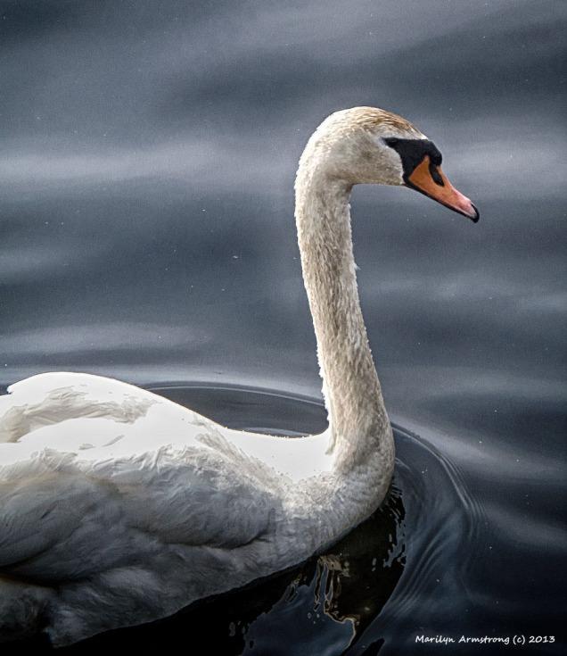 Zeus the Swan