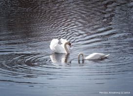 75-swans-04232014-087