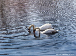 Two by two - swans
