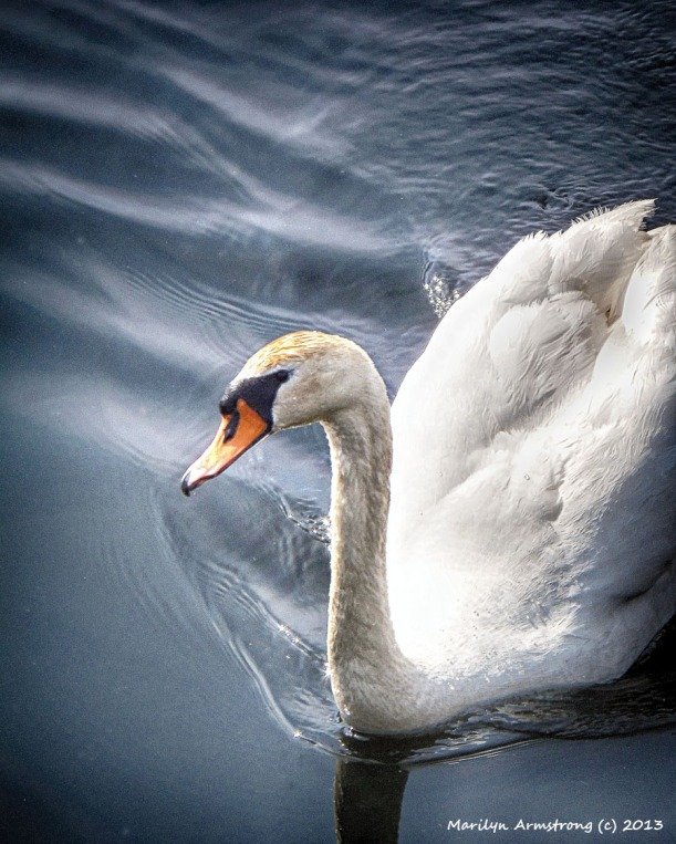 A mute swan in portrait mode.