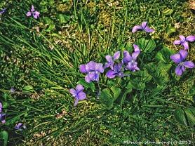 Violets dandelions and little purple flowers serendipity 75 violetsnk021 mightylinksfo