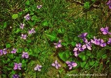 75-VioletsNK_022