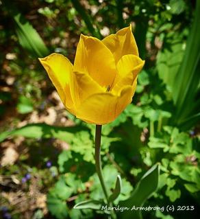 75-YellowTulipNK_010_01