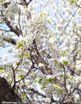 Apple Blossoms 002