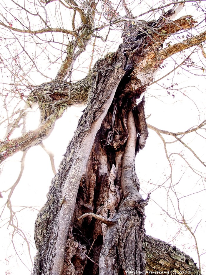 Hollow Tree 2013 - Marilyn Armstrong