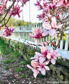 75-MagnoliasNK-001