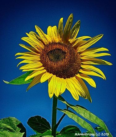 75-Sunflower-D-NK-`