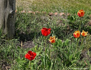 75-TulipsNK_215