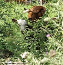 Calf wading in stream