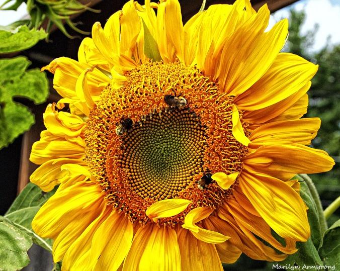 75-SunflowerBeeNK-2